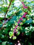 Πράσινα μούρα Pokeweed στο ρόδινο κλάδο Στοκ Εικόνες
