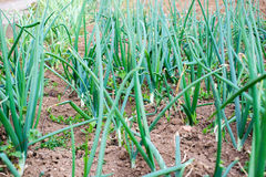 Πράσινα νέα φυτά κρεμμυδιών άνοιξη φύλλων στη φυτεία Στοκ Εικόνα