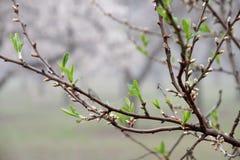 Πράσινα νέα φύλλα αμυγδάλων ξυπνώντας άνοιξη Στοκ Φωτογραφίες