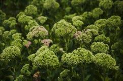 Πράσινα λουλούδια Στοκ εικόνες με δικαίωμα ελεύθερης χρήσης
