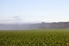 Πράσινα παντζάρια φύλλων Στοκ Εικόνες