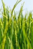 Πράσινα πεδία ρυζιού στοκ εικόνες