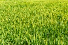 Πράσινα πεδία ρυζιού Στοκ φωτογραφίες με δικαίωμα ελεύθερης χρήσης