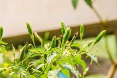 Πράσινα πιπέρια τσίλι κινηματογραφήσεων σε πρώτο πλάνο στο δέντρο στον κήπο Στοκ Εικόνες