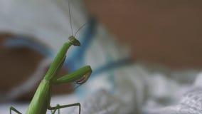 Πράσινα πλυσίματα mantis απόθεμα βίντεο