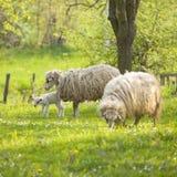 πράσινα πρόβατα αρνιών πεδίων Στοκ Εικόνα
