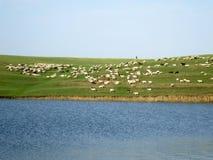 πράσινα πρόβατα αρνιών πεδίω&nu Στοκ Φωτογραφία