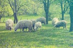 πράσινα πρόβατα αρνιών πεδίων Στοκ εικόνες με δικαίωμα ελεύθερης χρήσης