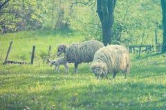 πράσινα πρόβατα αρνιών πεδίων Στοκ Φωτογραφίες
