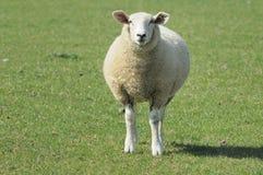 πράσινα πρόβατα πεδίων των Α&r Στοκ Εικόνες