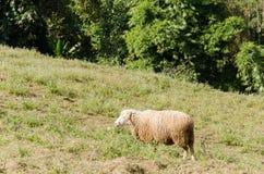 πράσινα πρόβατα πεδίων Στοκ Φωτογραφία