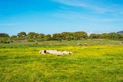 πράσινα πρόβατα πεδίων Στοκ εικόνα με δικαίωμα ελεύθερης χρήσης