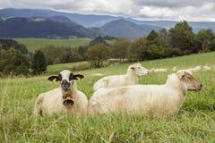 πράσινα πρόβατα πεδίων Στοκ φωτογραφία με δικαίωμα ελεύθερης χρήσης