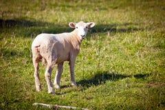 πράσινα πρόβατα πεδίων Στοκ Φωτογραφίες
