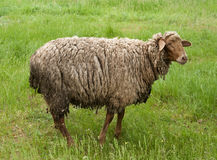 πράσινα πρόβατα πεδίων Στοκ Εικόνες