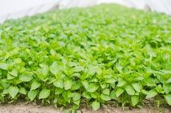 Πράσινα σπορόφυτα πιπεριών στο θερμοκήπιο, έτοιμο για τη μεταμόσχευση στον τομέα, καλλιέργεια, γεωργία, λαχανικά, φιλικό προϊόν,  στοκ φωτογραφίες