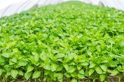 Πράσινα σπορόφυτα πιπεριών στο θερμοκήπιο, έτοιμο για τη μεταμόσχευση στον τομέα, καλλιέργεια, γεωργία, λαχανικά, φιλικό προς το  στοκ εικόνα