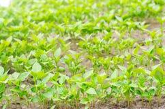 Πράσινα σπορόφυτα πιπεριών στο θερμοκήπιο, έτοιμο για τη μεταμόσχευση στον τομέα, καλλιέργεια, γεωργία, λαχανικά, φιλικό προς το  στοκ εικόνες με δικαίωμα ελεύθερης χρήσης