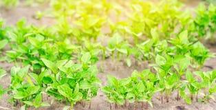 Πράσινα σπορόφυτα πιπεριών στο θερμοκήπιο, έτοιμο για τη μεταμόσχευση στον τομέα, καλλιέργεια, γεωργία, λαχανικά, φιλικό προς το  στοκ εικόνες