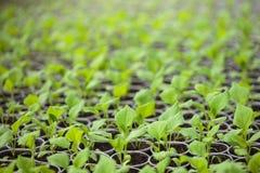 Πράσινα σπορόφυτα που αυξάνονται σε μια σειρά στο θερμοκήπιο Στοκ φωτογραφία με δικαίωμα ελεύθερης χρήσης