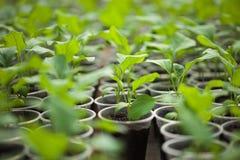 Πράσινα σπορόφυτα που αυξάνονται σε μια σειρά στο θερμοκήπιο Στοκ φωτογραφίες με δικαίωμα ελεύθερης χρήσης