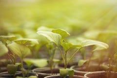 Πράσινα σπορόφυτα που αυξάνονται σε μια σειρά στο θερμοκήπιο Στοκ Εικόνες