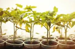 Πράσινα σπορόφυτα που αυξάνονται σε μια σειρά στο θερμοκήπιο Στοκ Εικόνα