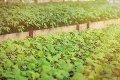Πράσινα σπορόφυτα που αυξάνονται σε μια σειρά στο θερμοκήπιο Στοκ Φωτογραφίες