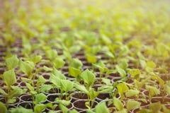 Πράσινα σπορόφυτα που αυξάνονται σε μια σειρά στο θερμοκήπιο Στοκ εικόνα με δικαίωμα ελεύθερης χρήσης