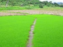 Πράσινα σπορόφυτα ρυζιού Στοκ Εικόνες