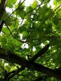 Πράσινα σταφύλια στοκ εικόνες