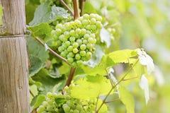 Πράσινα σταφύλια κρασιού Στοκ Φωτογραφίες