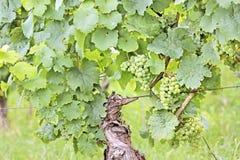 Πράσινα σταφύλια κρασιού Στοκ φωτογραφία με δικαίωμα ελεύθερης χρήσης