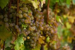Πράσινα σταφύλια κρασιού Closup με Bokeh στοκ εικόνα με δικαίωμα ελεύθερης χρήσης