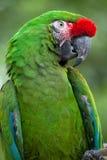 Πράσινα στρατιωτικά militaris Ara macaw Στοκ Φωτογραφία