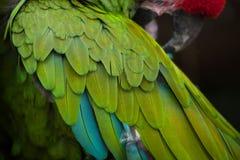 Πράσινα στρατιωτικά militaris Ara macaw Στοκ φωτογραφίες με δικαίωμα ελεύθερης χρήσης
