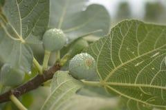 Πράσινα σύκα Στοκ Φωτογραφία