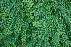 Πράσινα σύσταση και υπόβαθρο δέντρων της Ebony φύλλων μαύρα αφηρημένα Στοκ Εικόνες