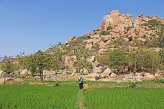 Πράσινα τομείς ή πεζούλια ρυζιού στο χωριό Hampi Φοίνικες, ήλιος, ρύζι και μεγάλες πέτρες σε Hampi Τροπικό εξωτικό τοπίο στοκ εικόνες