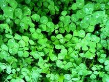 Πράσινα τριφύλλια με τις πτώσεις βροχής στοκ εικόνες