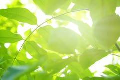 Πράσινα υπόβαθρο και φως του ήλιου φύλλων με το bokeh, εποχή άνοιξης Στοκ Εικόνες