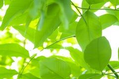 Πράσινα υπόβαθρο και φως του ήλιου φύλλων με το bokeh, εποχή άνοιξης Στοκ εικόνες με δικαίωμα ελεύθερης χρήσης