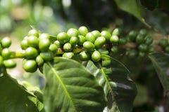 Πράσινα φασόλια καφέ στον κλάδο στοκ φωτογραφία με δικαίωμα ελεύθερης χρήσης