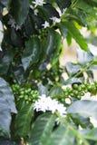 Πράσινα φασόλια καφέ στον κλάδο στοκ εικόνες