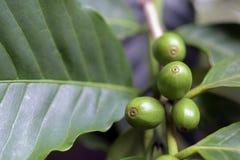 Πράσινα φασόλια καφέ στο δέντρο καφέ Στοκ Φωτογραφία