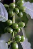 Πράσινα φασόλια καφέ στο δέντρο καφέ Στοκ φωτογραφία με δικαίωμα ελεύθερης χρήσης
