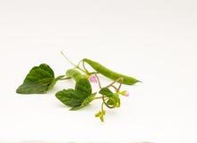 Πράσινα φασόλια με τα φύλλα και λουλούδια σε ένα άσπρο υπόβαθρο Στοκ Εικόνες
