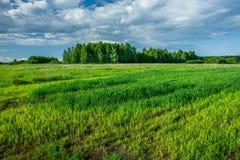 Πράσινα φρέσκα σιτάρι, δάσος και σύννεφα στον ουρανό στοκ φωτογραφίες με δικαίωμα ελεύθερης χρήσης