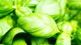 Πράσινα φρέσκα φύλλα βασιλικού Στοκ Εικόνες