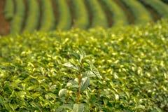 Πράσινα φρέσκα φύλλα τσαγιού Συγκομίζοντας φυτεία τσαγιού Στοκ εικόνες με δικαίωμα ελεύθερης χρήσης